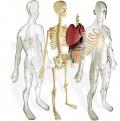 Cuerpo Humano (Human anatomy)